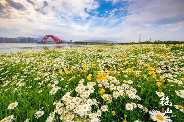 看红桥,赏雏菊,摘番茄,梅山陪你度个小清新周末~